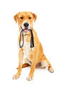 Labrador Retriever With Leash in Mouth Royalty Free Stock Images