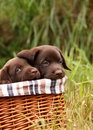 Labrador Retriever puppies Stock Photography