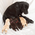 Labrador retriever puppies and mom one week old Royalty Free Stock Images
