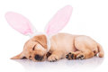 Labrador retriever puppy dog wearing bunny ears is sleeping