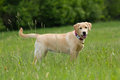 Labrador retriever a puppy of in a grass Stock Images