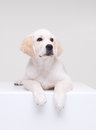 Labrador retriever puppy on white cube Stock Photos
