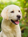 Labrador retriever puppy in the yard Stock Photos
