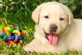 Labrador retriever puppy in the yard Stock Photo
