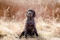Labrador retriever puppy in yellow grass Royalty Free Stock Photo