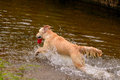 Labrador Retriever Type Dog Re...