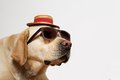 Labrador Retriever wearing sunglasses and hat