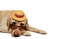 Labrador Retriever wearing sunglasses and hat Royalty Free Stock Photo