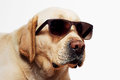 Labrador Retriever wearing sunglasses