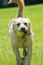 Labrador retrieving tennis ball on a bright summers day blond his in field Royalty Free Stock Image
