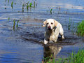 Labrador retriver 02 Royalty Free Stock Image