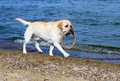 Labrador running by the sea a yellow with a toy Stock Photo