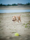 Labrador runs for a ball fast Royalty Free Stock Images