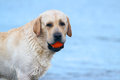 Labrador at the sea portrait with a ball sand an orange Royalty Free Stock Photo