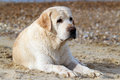 Labrador at the sea portrait close sand Royalty Free Stock Photos