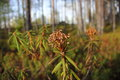 Labrador tea. Royalty Free Stock Images