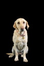 Labrador white dog isolated over black Royalty Free Stock Image