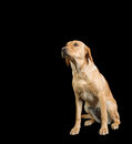 Labrador white dog isolated over black Royalty Free Stock Photography