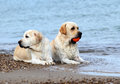 Labradors at the sea with a ball yellow an orange Stock Photo