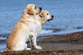 Labradors at the sea yellow in summer Royalty Free Stock Photo