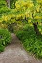 Laburnum tree Royalty Free Stock Photo