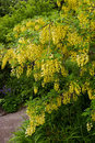 Laburnum tree Royalty Free Stock Photo