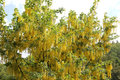 laburnum tree also called golden chain or golden rain Royalty Free Stock Photo