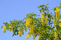 Laburnum tree blooming Royalty Free Stock Photo