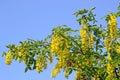 Laburnum tree blooming Royalty Free Stock Photo