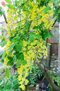 LABURNUM TREE WITH YELLOW FLOWER Royalty Free Stock Photo