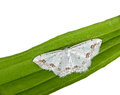 Lace Border Moth -  Scopula ornata Stock Photo