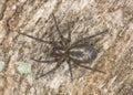 Lace webbed spider (Amaurobius fenestralis ) Stock Image
