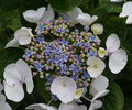 Lacecap Hydrangea flower Royalty Free Stock Photo
