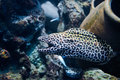 Laced moray gymnothorax favagineus in the coral reef Royalty Free Stock Photography