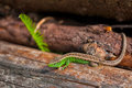 Lacerta agilis sand lizard in her habitat during summer season Royalty Free Stock Photography