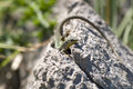 Lacerta agilis or sand lizard on a rock Royalty Free Stock Photo