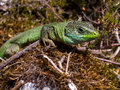 Lacerta viridis on moss Stock Photos
