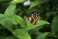 Lacewing butterfly pitched on a leaf beautiful resting Stock Images