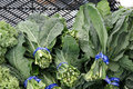 Lacinato kale dinosaur kale tuscan brassica oleracea var viridis cultivated variety with dark green blistered Stock Images