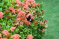 Lack butterfly on beatiful exotic flowers Royalty Free Stock Photo