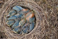 Lack of space in house sleeping young birds blackbirds the crowded nest at home Stock Image