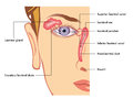 Lacrimal apparatus medical illustration of the anatomy of the Stock Image
