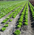 Lactuca sativa butterhead butterhead lettuce cultivar with soft smooth light green leaves forming an open head highly prized as Royalty Free Stock Images