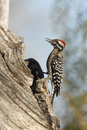 Ladder backed woodpecker picoides scalaris Royalty Free Stock Photo