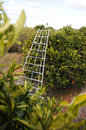 Ladder in orchard Stock Images
