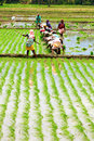 Laddy farmers madhurai india april a group of lady rice planting on their field on april in madhurai tamil nadu india Stock Photo