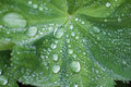 Ladies mantle alchemilla with raindrops macro Stock Photo