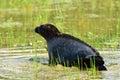 Ladoga ringed seal Royalty Free Stock Photo