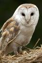 LadugårdOwl - Skottland Royaltyfri Foto