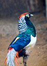 Lady Amherst Pheasant Stock Photo